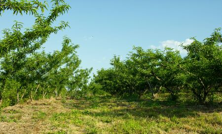 Beautiful Peach Trees With the Blue Sky