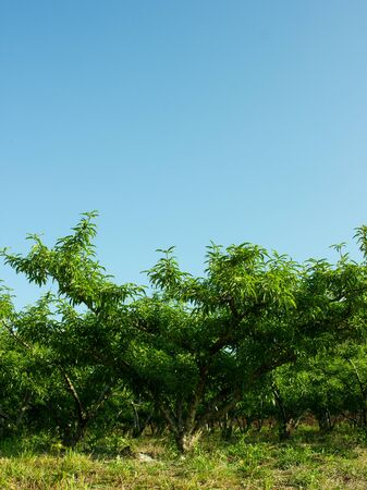Beautiful Peach Trees With the Blue Sky Zdjęcie Seryjne - 46631881