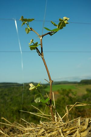 Sprouts on a Small Grape Tree Tied up to the Wire