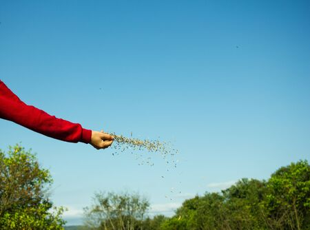 Woman Hand Spreading Oat Seeds on the Land Stock Photo