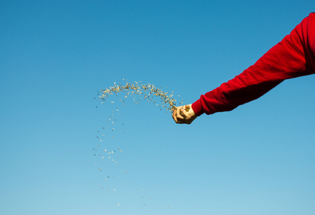 Hand Throwing Oat Seeds Stock Photo