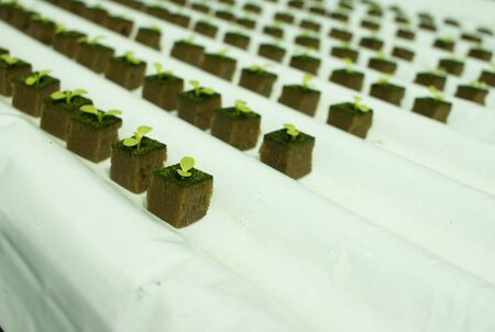 Baby lettuce plants on hydroponic culture with phenolic sponge