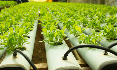 Small Arugula Plants growing in Hydroponic culture