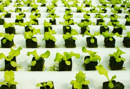 Baby lettuce plants on hydroponic culture with phenolic sponge Zdjęcie Seryjne - 46641601