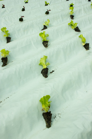 Baby lettuce plants on hydroponic culture on plastic water canal Zdjęcie Seryjne