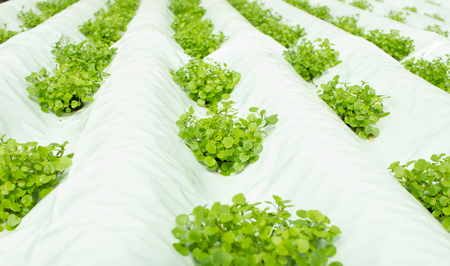Small watercress plants growing in hydroponic culture in white plastic canals Stock Photo