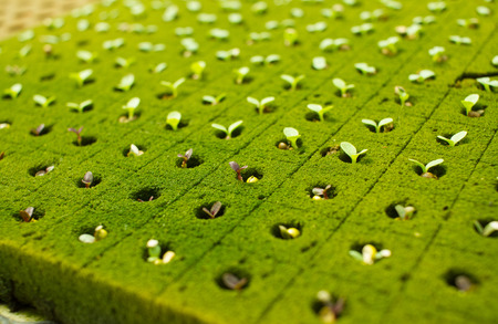 Small 5 days old purple lettuce plants growing in hydroponic culture with phenolic sponge Stock Photo