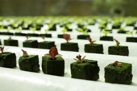 Baby purple lettuce plants growing in hydroponic culture with phenolic sponge