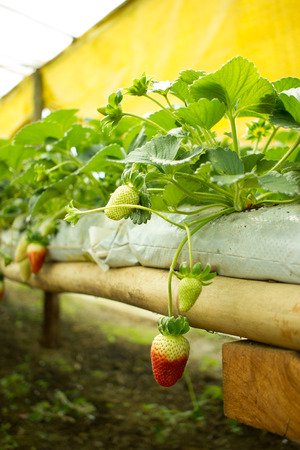 Half Green half Red Strawberrie growing inside Greenhouse Stock Photo