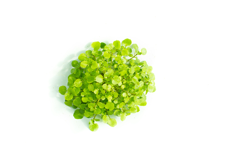 water cress: Isolated Watercress Plant growing in hydroponic culture Stock Photo