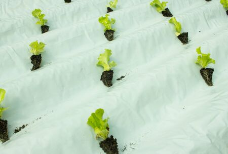 Baby lettuce plants on hydroponic culture on plastic water canal Stock Photo