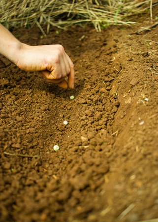 Sowing, Planting -Woman Hand Planting Pea Seeds