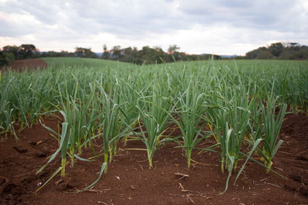 red soil: Garlic Plantation on Red Soil Stock Photo