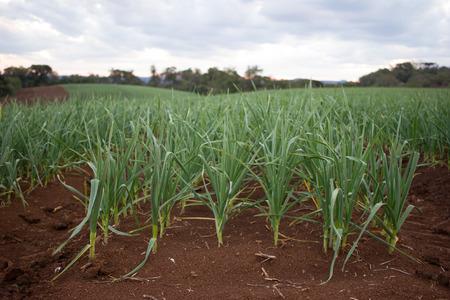 Garlic Plantation on Red Soil Stock Photo