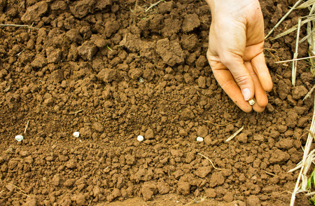 Woman Hand Sowing Seeds into the Soil Stock Photo