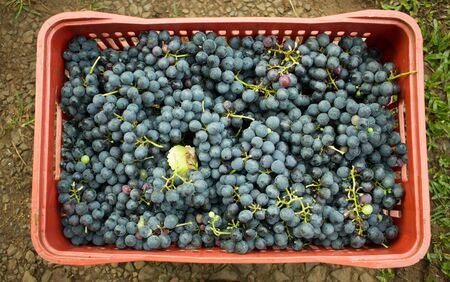Top view of a red plastic box full of purple grapes