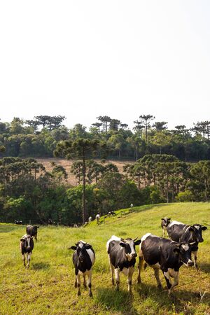 Dutch black and white cow with Araucaria Trees in South Brazil