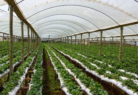 monoculture: Raised Beds Strawberry Farm inside Green House Stock Photo