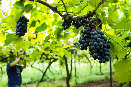Grape Harvest - Grapes with Green Organic Chemical (Bordeaux Mixture)