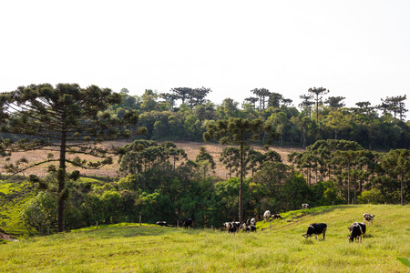 Dutch black and white cow with Araucaria Trees in South America