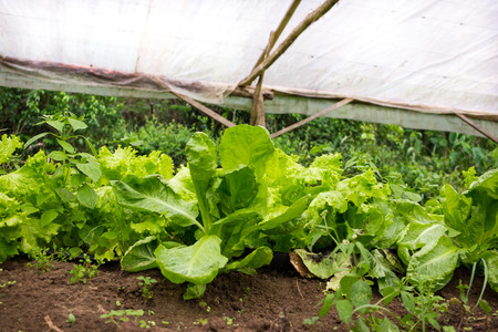 Young lettuce plant growing in a very simple plant nursery greenhouse directly on the ground