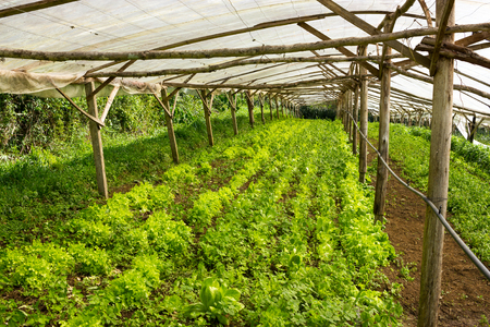 market gardener: Young plants (lettuce) growing in a very simple plant nursery greenhouse directly on the ground