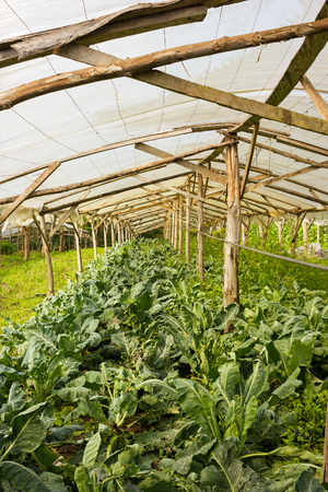 Organic Cauliflower plants growing in a very simple wooden greenhouse directly on the ground