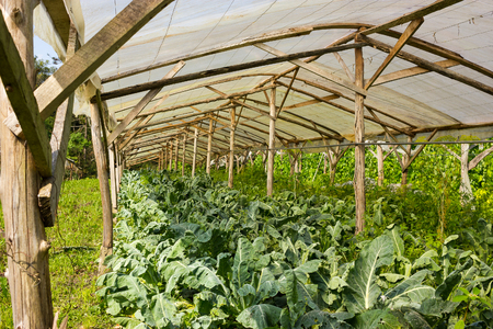 third world: Organic Cauliflower plants growing in a very simple wooden greenhouse directly on the ground