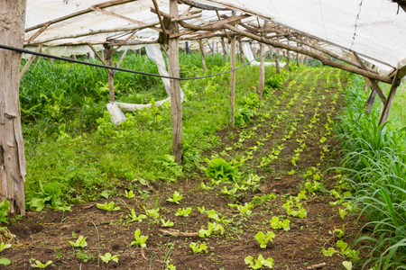 Organic Baby Lettuce growing in a very simple plant nursery greenhouse directly on the ground
