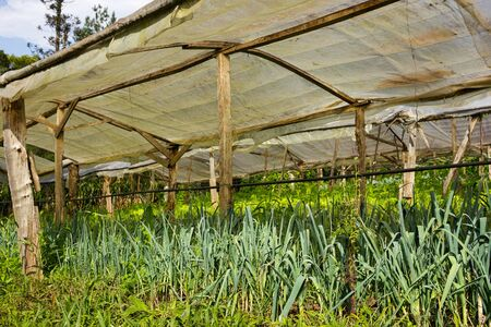 Organic Leek Plants growing in a very simple wooden greenhouse directly on the ground Zdjęcie Seryjne - 58418505