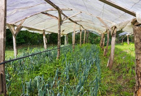 Organic Leek Plants growing in a very simple wooden greenhouse directly on the ground