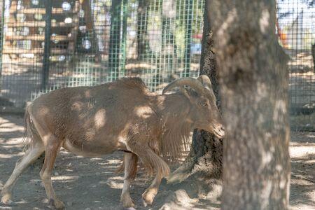 A chamois walks through the park at the zoo Stockfoto