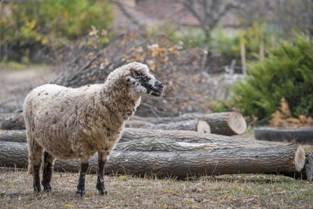 A sheep in the yard looks curiously at the cut trees