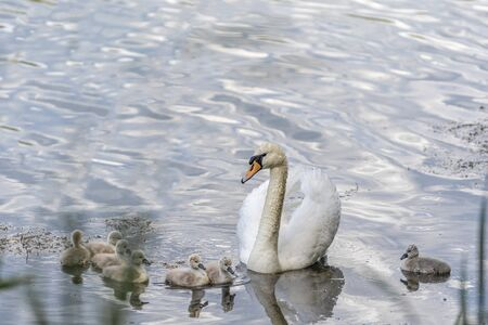 The swan guards the swans as they swim