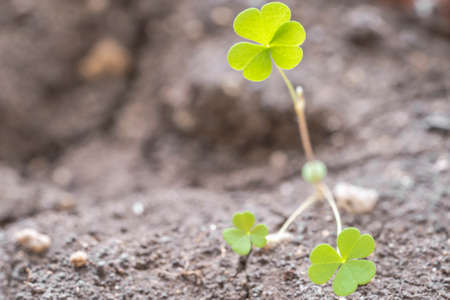Macro close up of a three leaf clover just grown out of the ground on a blurred background Standard-Bild