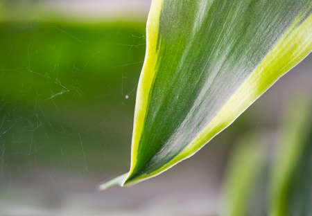 Macro close up of aspidistra blooms on a blurred background