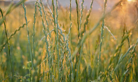 Close up of grass in a meadow at sunset in the valley on blurry background