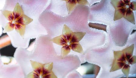 Macro close up hoya flower that cries or wax flower Latin Hoya carnosa