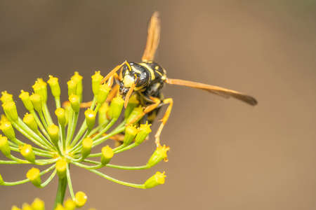 The wasp feeds on the milkweed flower