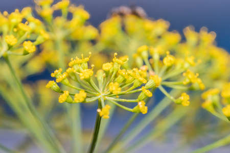 Euphorbia cyparissias glabrous or slightly hairy, gray green, with a cylindrical creeping root