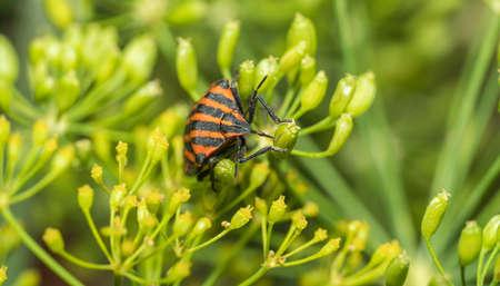 Graphosoma italicum is one of two species that exist Standard-Bild
