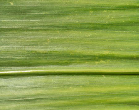 Macro texture on a corn leaf that is still growing Standard-Bild
