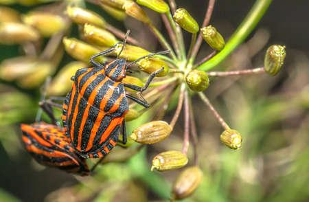 Graphosoma italicum or Italian beetle sets on flowers