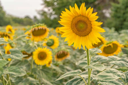 Sunflowers bloomed in the field at sunset Standard-Bild