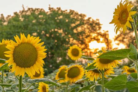 Sunflower in the field at sunset golden hour