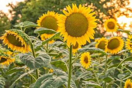 Sunflower at sunset in a field near the forest Standard-Bild
