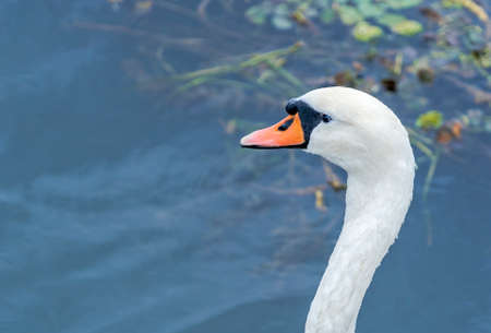 Portrait of a swan swimming on the Danube