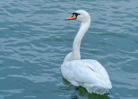 A swan on the Danube swims on the water