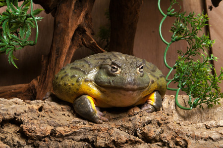 vivarium: African Bullfrog in vivarium