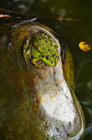 Frog on a rock in the water, waiting for Prince  Stock Photo